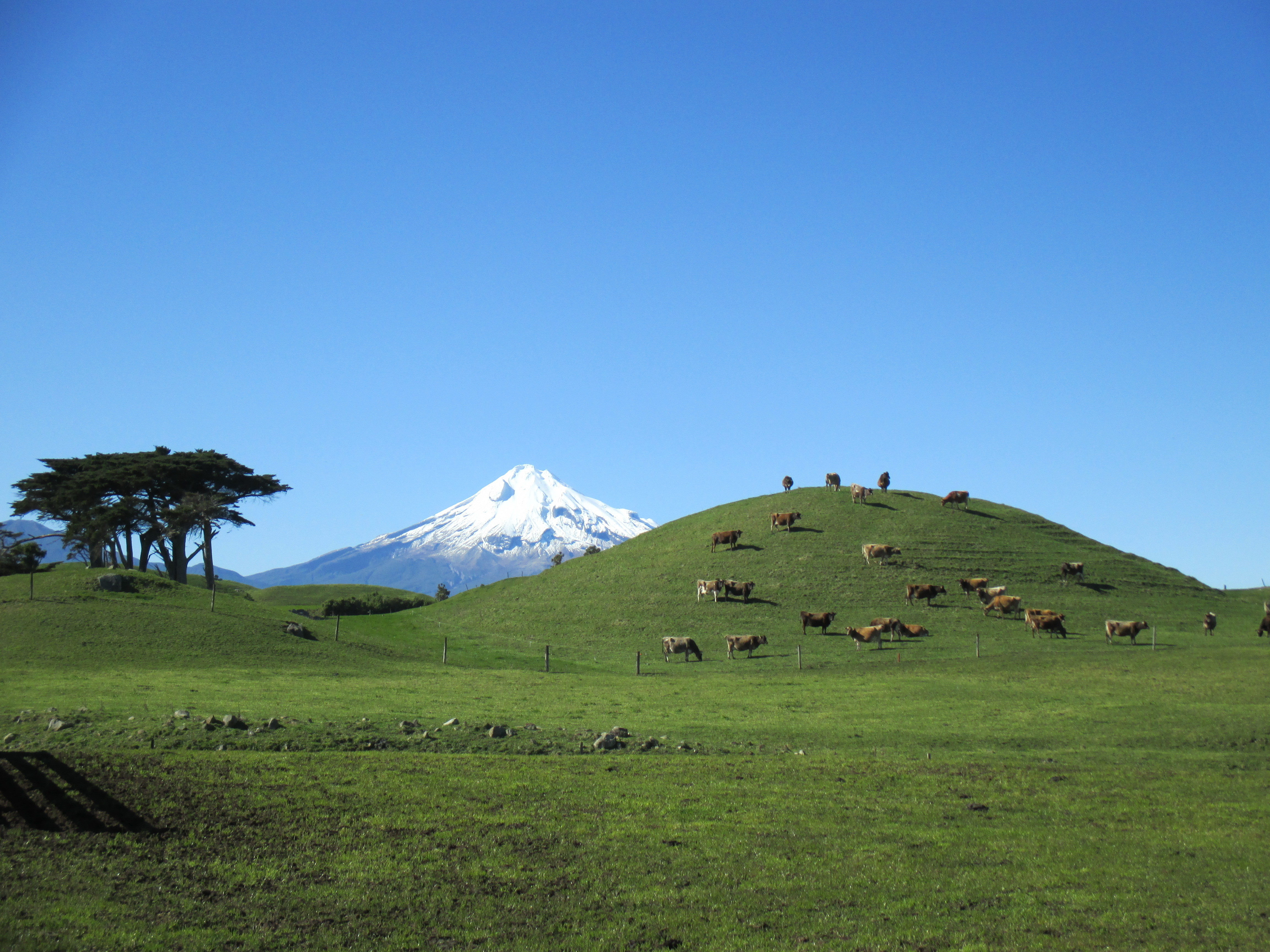 Taranaki Cows