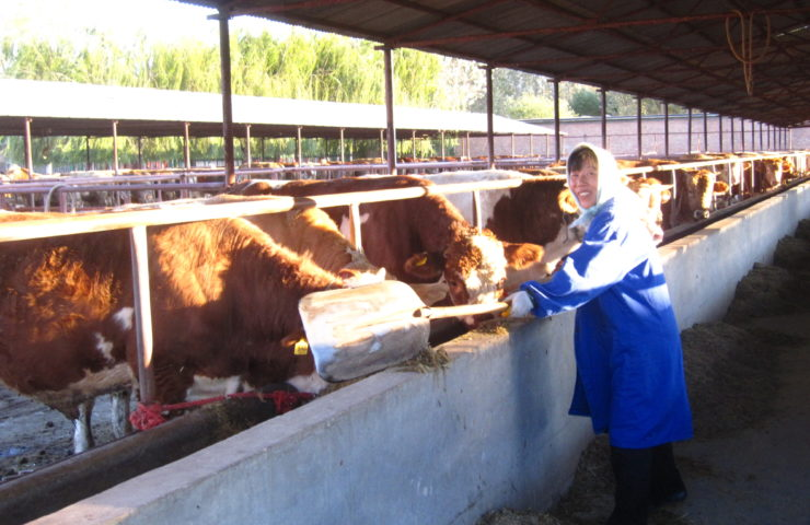 Chinese Lady In Feedlot