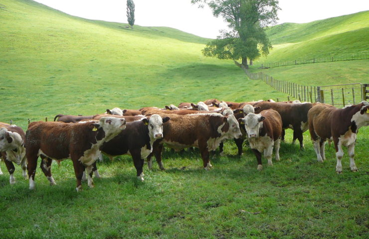 Herefords Cattle Farm
