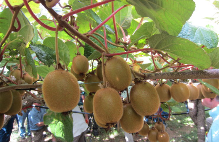 Kiwifruit Farm