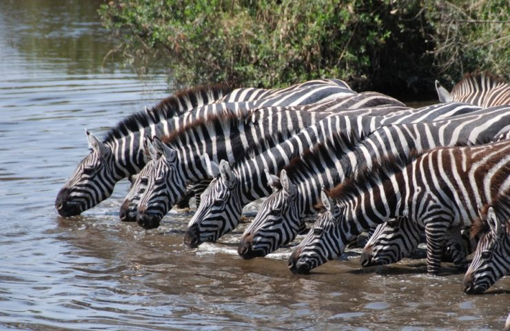 Zebra Drinking From River