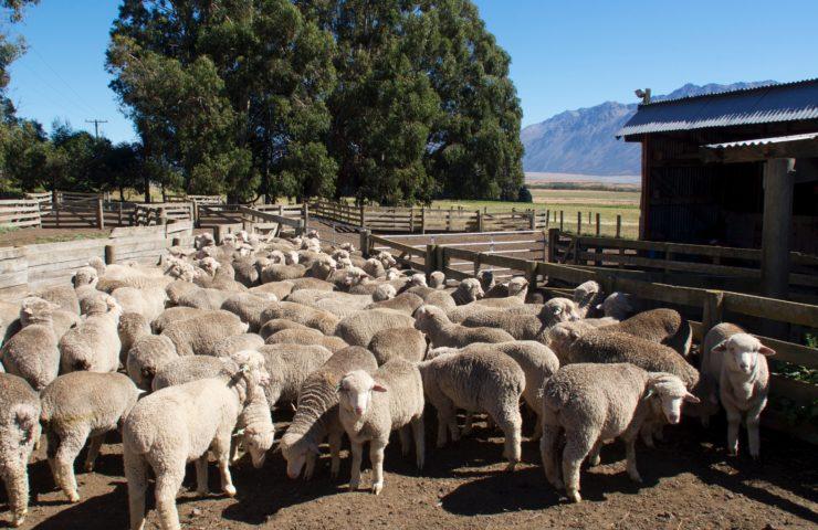 Lamb Farm